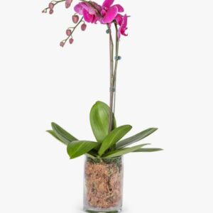 Purple Phaleanopsis in a Vase